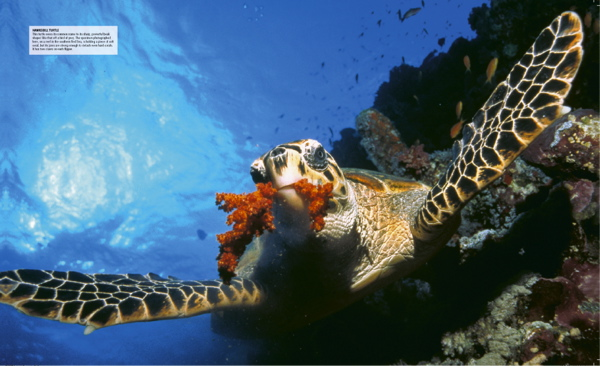 hawksbill sea turtles essay Usfws species profile for the hawksbill sea turtle (eretmochelys imbricata) including information about species listing status, federal register publications, recovery, critical habitat, conservation planning, petitions, and life history.